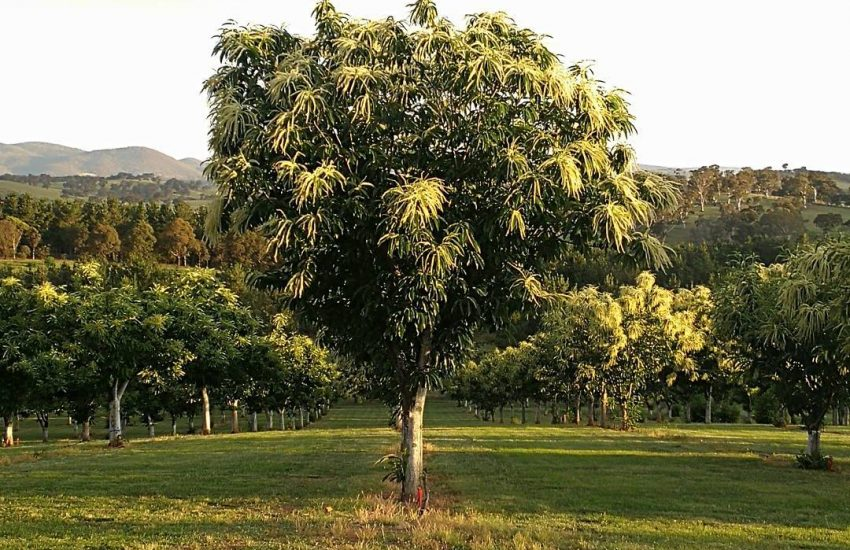 Photo of a flowering chestnut tree